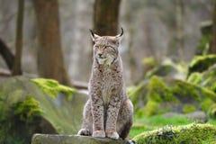 Lynx eurasien (lynx de lynx) Images libres de droits