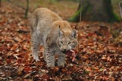 Lynx eurasien (lynx de lynx) Image stock