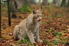 Lynx eurasien (lynx de lynx) Photographie stock libre de droits