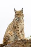 Lynx eurasien sur une roche Images stock