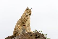 Lynx eurasien sur une roche Images libres de droits