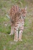 Lynx européen Photo libre de droits