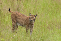 Lynx européen Photo stock