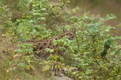 Lynx européen Photos stock
