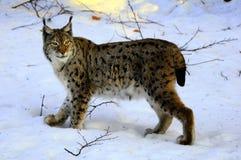 Lynx européen (lynx de lynx) Image libre de droits