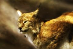 Lynx européen (lynx de lynx) Photographie stock libre de droits