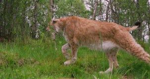Lynx européen marchant dans la forêt à l'été banque de vidéos