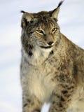 Lynx, European. Watchful European Lynx shot against a slightly overcast blue sky Stock Photography