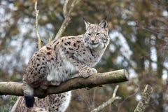 Lynx européen Photographie stock