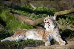 Lynx européen Photographie stock libre de droits