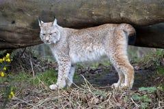 Lynx européen Image libre de droits