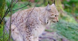 Lynx européen se reposant et se situant dans la forêt banque de vidéos