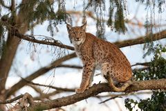 Lynx in the evening sunlight stock photo