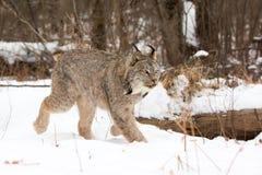 Lynx explorant la forêt Image stock