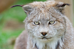 Lynx face close up Stock Photo