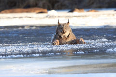 Lynx falling through the ice Stock Images