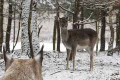 Lynx and fallow deer Stock Images