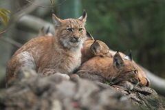 Lynx family. The lying adult lynx with its juveniles Stock Image