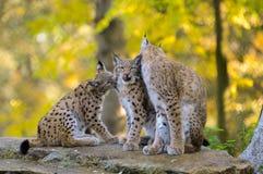 Lynx family. An adult female lynx  with cubs Royalty Free Stock Photos