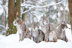 Lynx family. With four bobcats sitting in a snowy winter forest Stock Photos