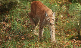 Lynx. A female lynx walking in the forest Stock Photography