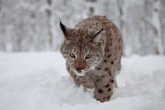 Lynx femelle sur la chasse Photo libre de droits