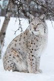Lynx fier se reposant sous un arbre Images stock