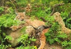 Lynx. Fluffy Eurasian lynx having rest in the bushes Stock Image