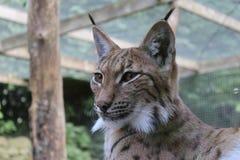 Lynx font face Photos stock