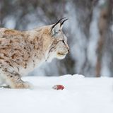 Lynx with food in the mouth. February, Norway Stock Image