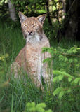 Lynx in forest. Close-up portrait of an Eurasian Lynx in forest (Lynx lynx Royalty Free Stock Photos