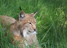 Lynx in forest. Close-up portrait of an Eurasian Lynx in forest (Lynx lynx Stock Images