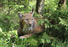 Lynx in forest. Close-up portrait of an Eurasian Lynx in forest (Lynx lynx Royalty Free Stock Image
