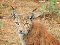 Lynx in the forest with cub royalty free stock images