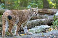 Lynx in the forest. In the wild Royalty Free Stock Image