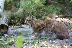 Lynx in the forest. In the wild Stock Image