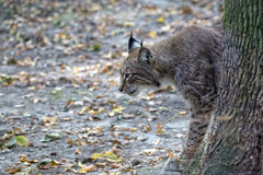 Lynx in the forest Royalty Free Stock Photos