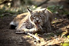 Lynx in the forest Royalty Free Stock Images