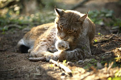 Lynx in the forest Royalty Free Stock Image