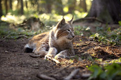 Lynx in the forest Stock Image