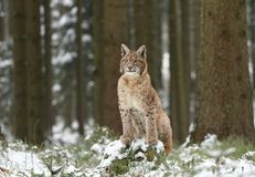 Lynx in forest Stock Photos