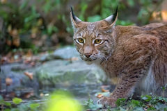 Lynx in the forest, a portrait Royalty Free Stock Photography