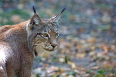 Lynx in the forest, a portrait Stock Image