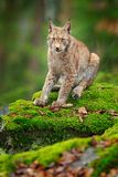 Lynx in the forest. Sitting Eurasian wild cat on green mossy stone, green in background. Wild cat in ther nature habitat, Czech, royalty free stock images