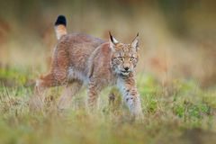 Lynx in the forest. Walking Eurasian wild cat on green mossy stone, green trees in background. Wild cat in nature habitat, Czech, stock images