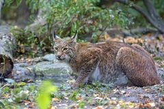 Lynx in the forest. In the wild Stock Images