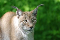 Lynx Royalty Free Stock Image