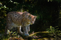Lynx in the forest. Wild cat Lynx in the nature forest habitat. Eurasian Lynx in the forest, birch and pine forest. Lynx lying on. Lynx in the forest. Wild cat Stock Image