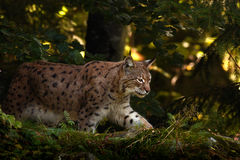Lynx in the forest. Wild cat Lynx in the nature forest habitat. Eurasian Lynx in the forest, birch and pine forest. Lynx walk in t Stock Images