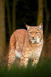 Lynx in the forest. Wild cat in the nature forest habitat. Eurasian Lynx in the forest, birch and pine forest. Lynx standing on th. E grass Royalty Free Stock Photo